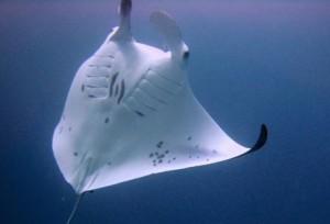 raie manta maldives